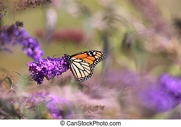Monarch Butterfly on Purple Flower. Horizontal Photo