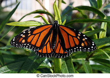Monarch butterfly Insect on swan plant. Wildlife and nature...
