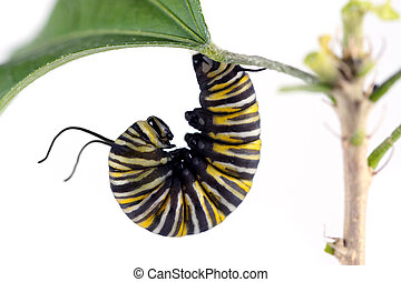 A macro shot of a Monarch Butterfly Caterpillar getting set to start forming its cocoon. Image was shot on a solid white background.
