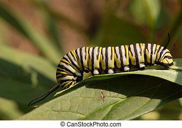 Monarch Caterpillar Eating - A Monarch Butterfly (Danaus...