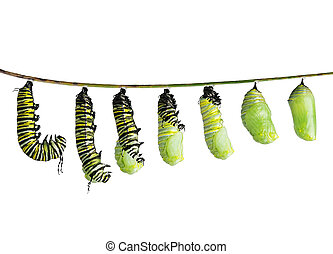 monarch caterpillar in various stages isolated on white - ...