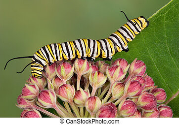 Monarch caterpillar on milkweed buds - A monarch caterpillar...