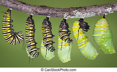 Monarch caterpillar shed to chrysalis - A monarch...