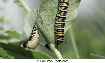 Monarch caterpillars feeding on milkweed. - Slow motion clip...
