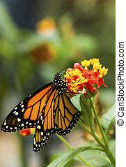 Monarch danaus plexippus at a blossom
