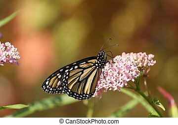 Monarch delight - A Monarch feeding from a milkweed plant.