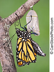 Monarch emerging - A monarch butterfly clings to a chrysalis...
