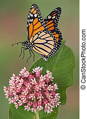 monarch, landung