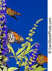 Monarch Migration - Three Monarch Butterflies on their...