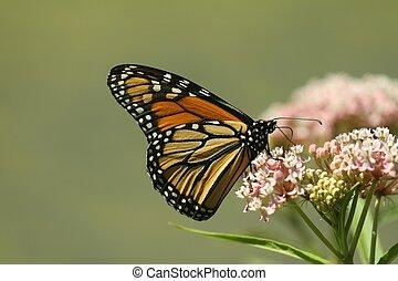 Monarch. - Monarch butterfly feeding on a milkweed plant in...