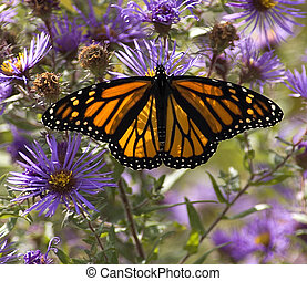 Monarch on asters - Sunlight filtering through the wings of...