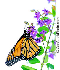 Monarch on Blossom - A monarch butterfly on a small purple...
