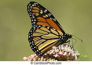 Monarch on milkweed - Monarch butterfly feeding on a...