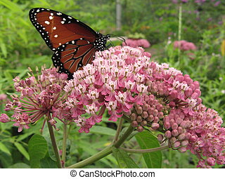 Monarch on milkweed - Monarch butterfly on milkweed plant