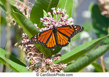 Monarch on milkweed - A monarch butterfly on a milkweed...