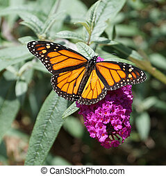 Monarch On Purple