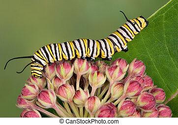 monarch, raupe, auf, schwalbenwurzgewächs, knospen