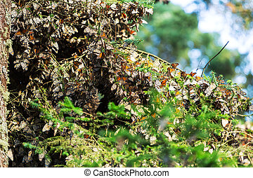 Monarch Butterfly colony in Mexico
