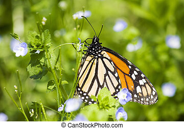 monarcha motýl