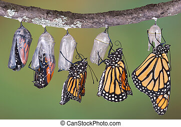Monarchs emerging - A composite of various views of a ...