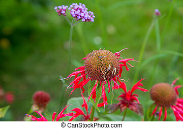 Monarda (bee balm) flower