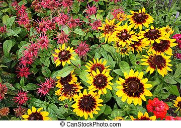 Monarda Didyma, Bee balm flowers in the garden