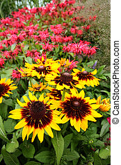 Monarda Didyma, Bee balm flowers