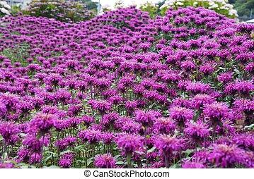Monarda flowers