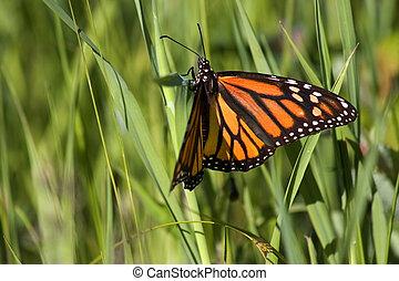 monark fjäril
