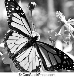 monarque, blanc, migrer, noir, butterlies