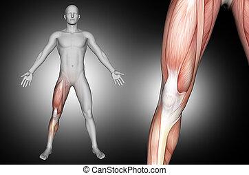 monde médical, muscles, 3d, figure, genou, mis valeur, mâle