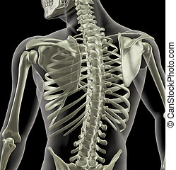 monde médical, torse, squelette