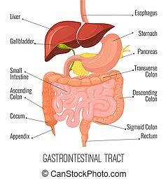 monde médical, tract., estomac, humain, gastro-intestinal,...