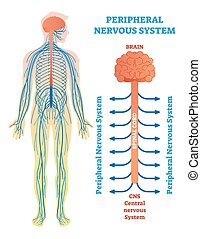 monde médical, vecteur, corde, spinal, nerves., cerveau, système nerveux, illustration, périphérique, diagramme
