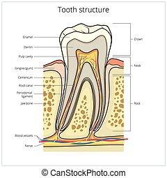 monde médical, vecteur, humain, structure, dent