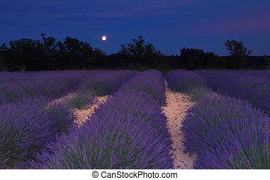 mondschein, feld, provence, lavendel, unter