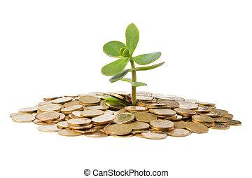 monedas., arbol dinero, pila, (crassula), crecer