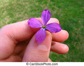 Money Plant in Hand - young hand holding the purple blossom...