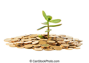 Money Tree (crassula) growing from a pile of coins. Isolated on white background.