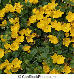 Moneywort Flower Bed - Moneywort (Lysimachia nummularia) ...