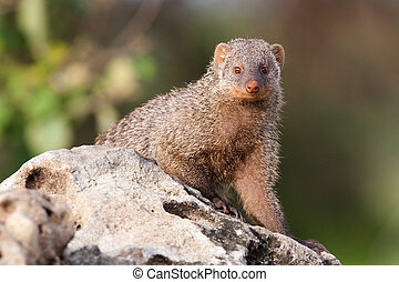 Mongoose - A banded mongoose sitting on a rock