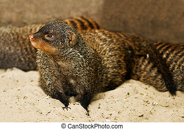 mongoose on sand close up