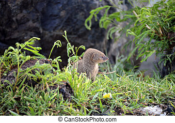 Mongoose searching for food - This is a photo of a mongoose...