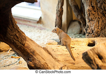 mongoose sitting in a tree
