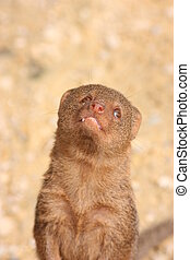 mongoose smiling - a mongoose standing up tall