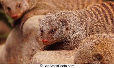Mongoose - close-up