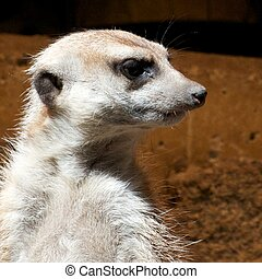 mongoose, uhr