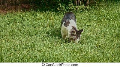Mongrel cat sniffing grass in springtime handheld shot