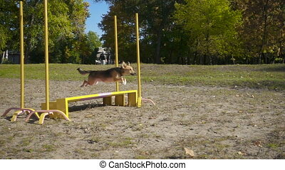Mongrel dog jumping at obstacle on agility training at the...