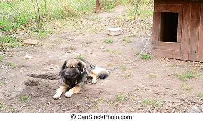 Mongrel dog on chain near kennel - Mongrel dog on chain...